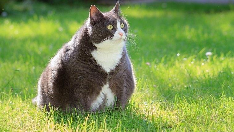 kilolu kedi