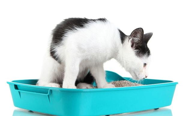 kedi idrar yolu enfeksiyonu