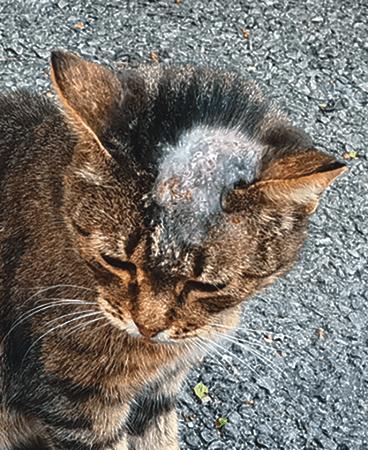 kedilerde mantar hastalığı 2