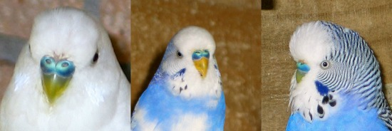 Muhabbet Kuşu Cinsiyet Tayini 4