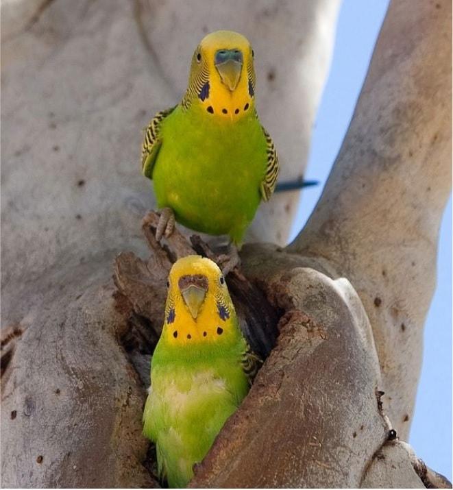 Muhabbet Kuşu Cinsiyet Tayini