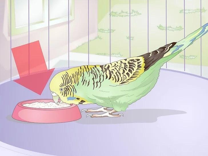Muhabbet Kuşu Nasıl Beslenir 4