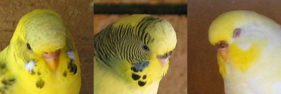 muhabbet kuşu dişi