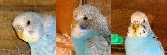 muhabbet kuşu gençler