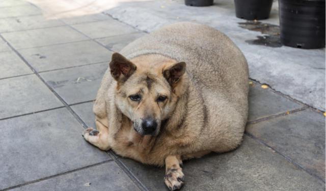 obez köpek
