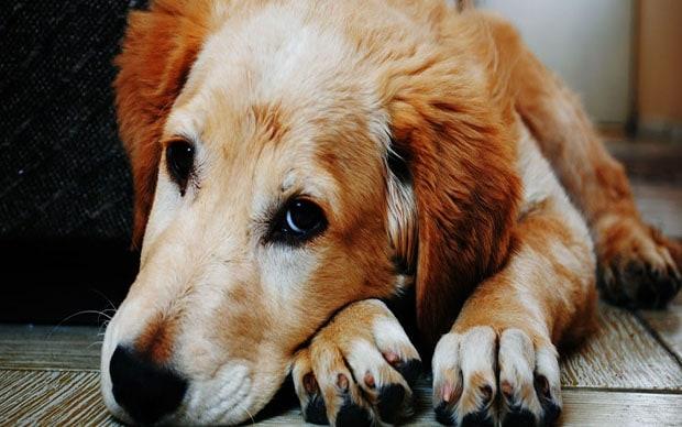 köpek eklem iltihabı