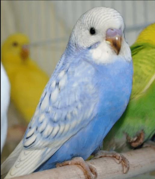 Violet Pullu Muhabbet Kuşu Cinsleri
