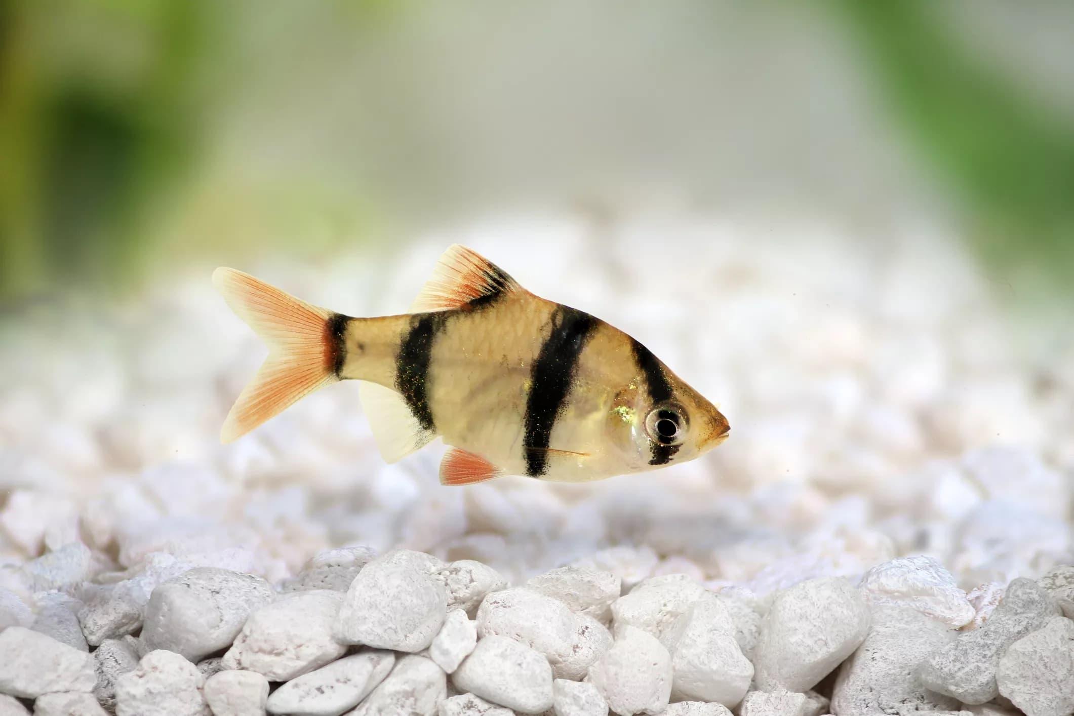 11-Tetrazone Kaplan Barb Balığı