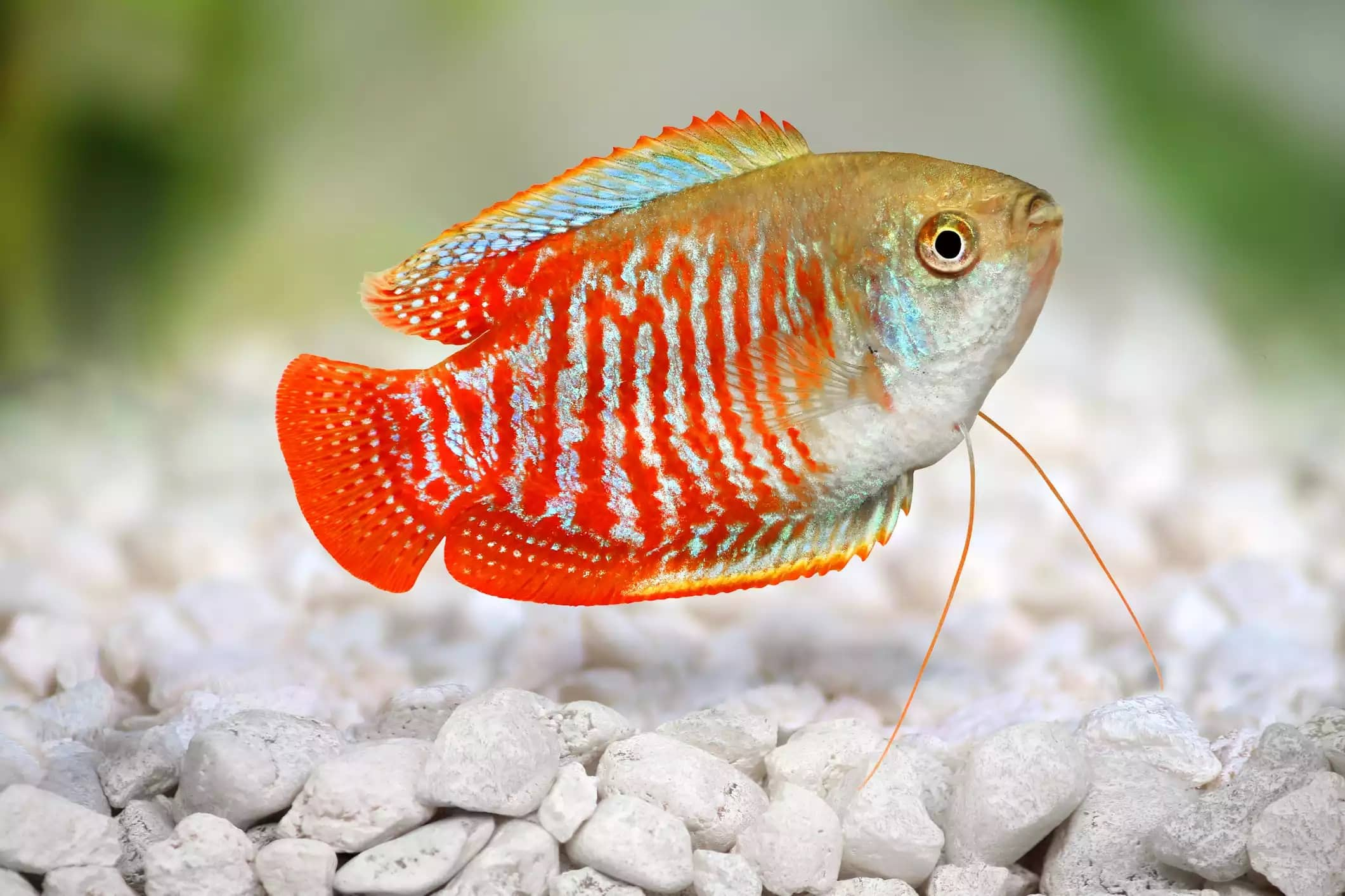 15-Cüce Gurami Balığı - akvaryum balık türleri
