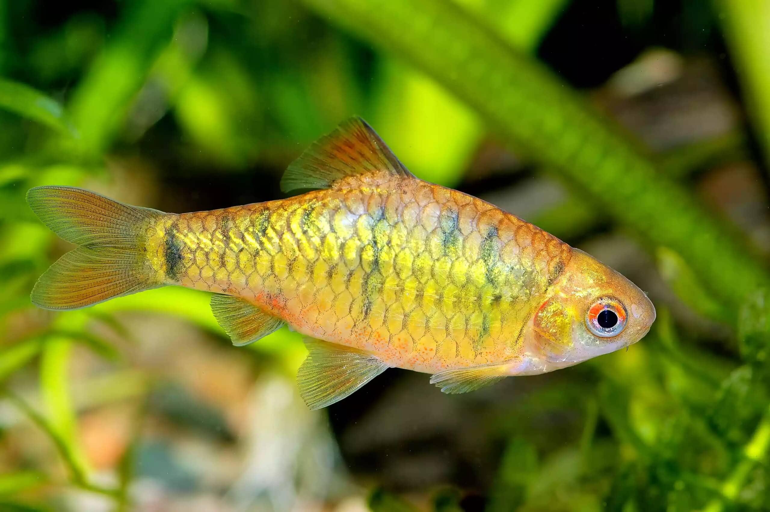16-Altın Barb Balığı - akvaryum balık türleri