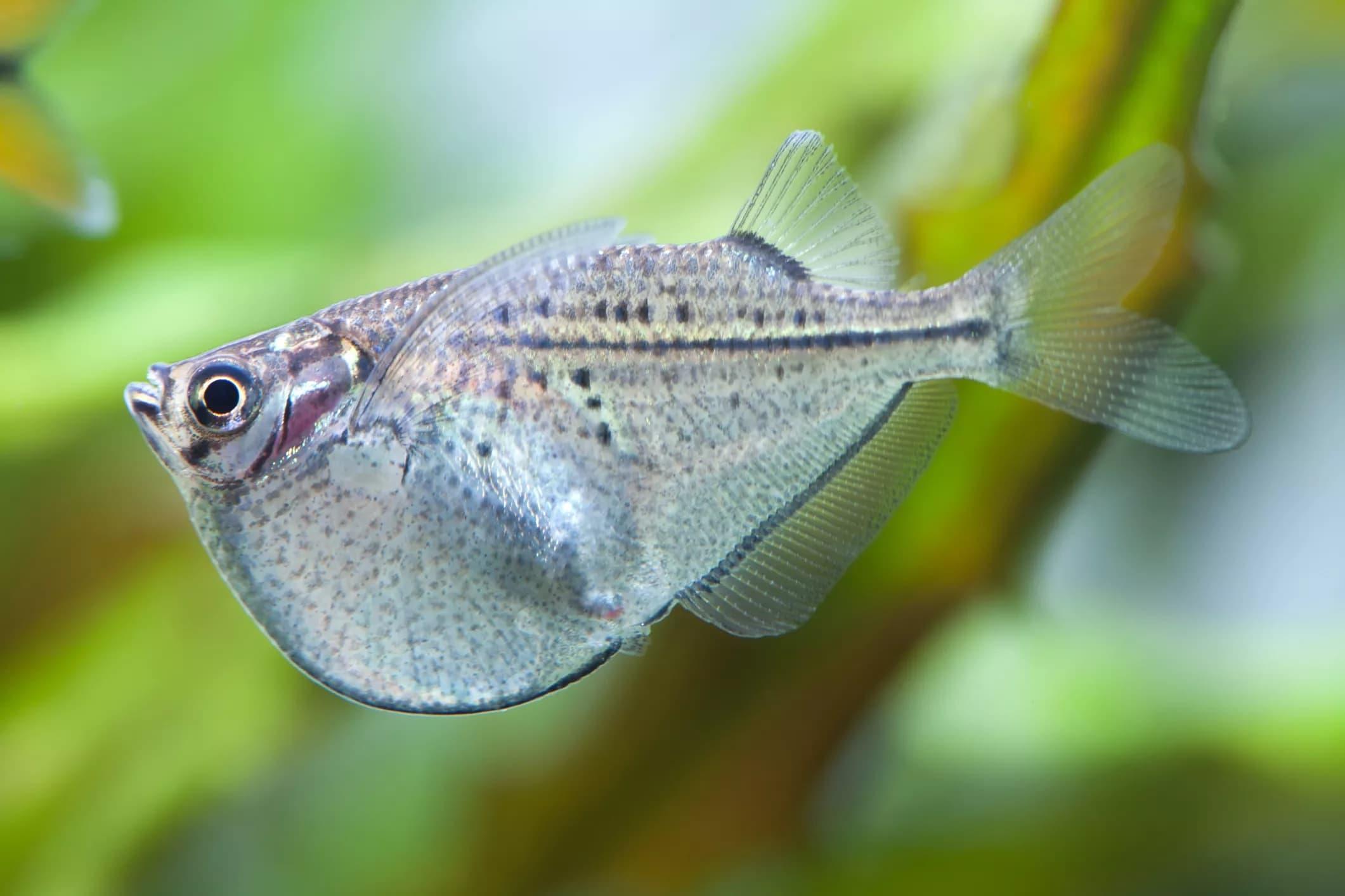 18-Balta Balığı - akvaryum balık türleri