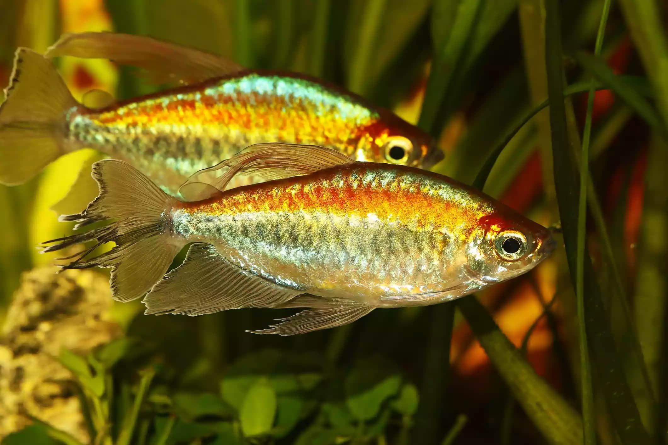 19-Kongo Tetra Balığı - akvaryum balık türleri