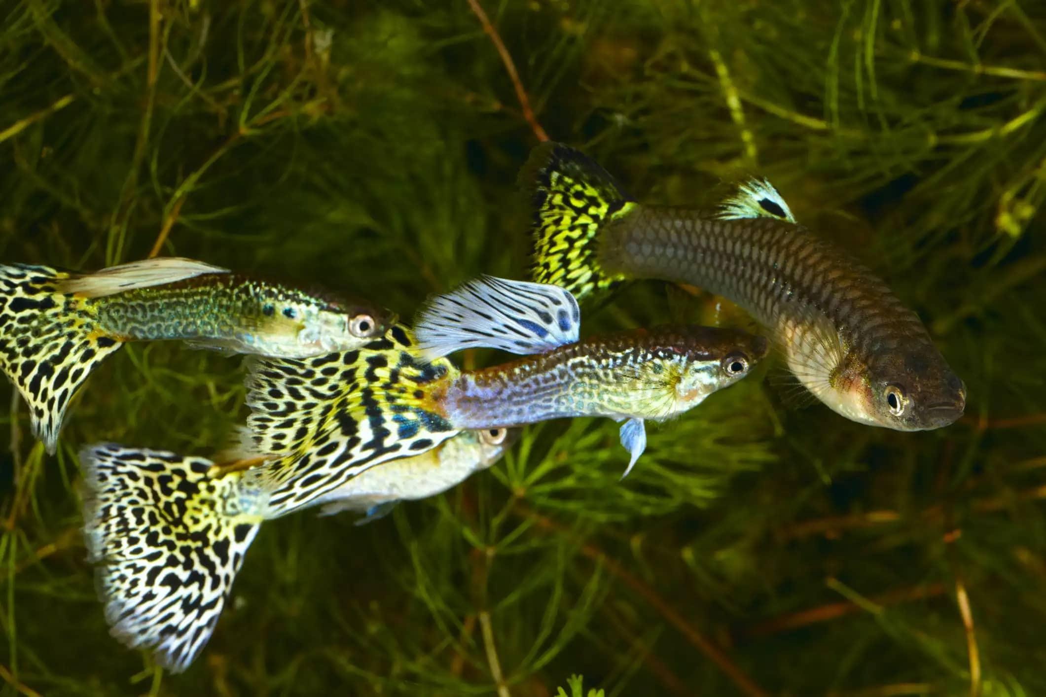 2-lepistes balığı