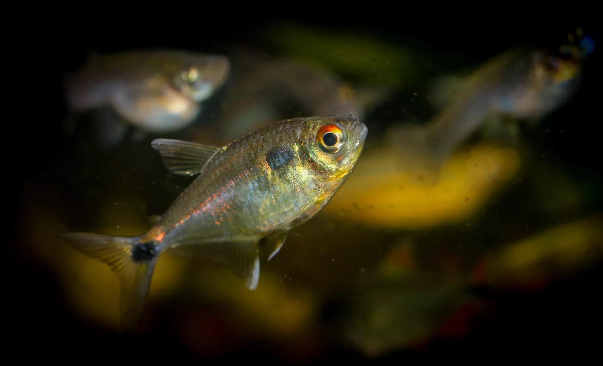 20-Beacon Tetra Balığı - akvaryum balık türleri