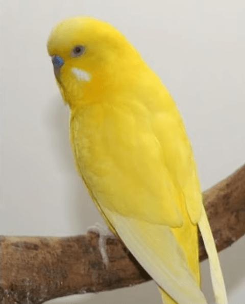 Çift Faktör Pullu muhabbet kuşu cinsleri