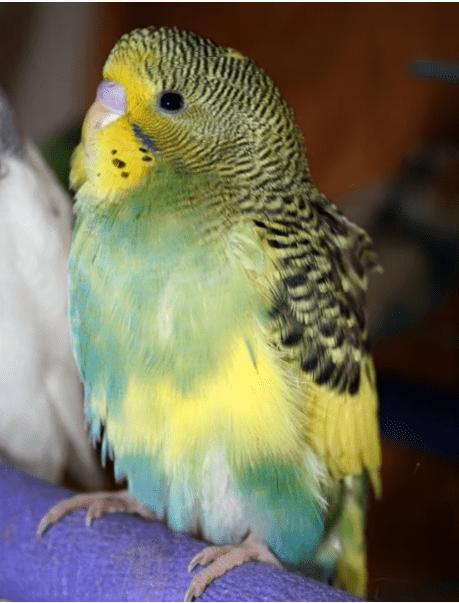 Yeşil Baskın Alaca muhabbet kuşu cinsleri