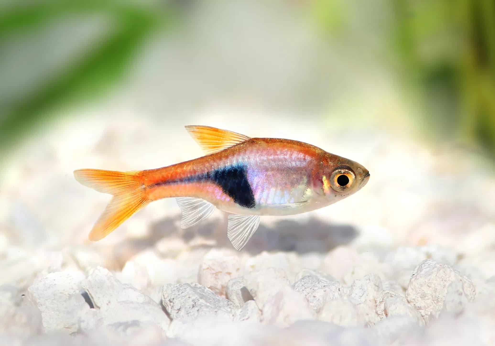 6-Harlequin Rasbora Sürü Balığı