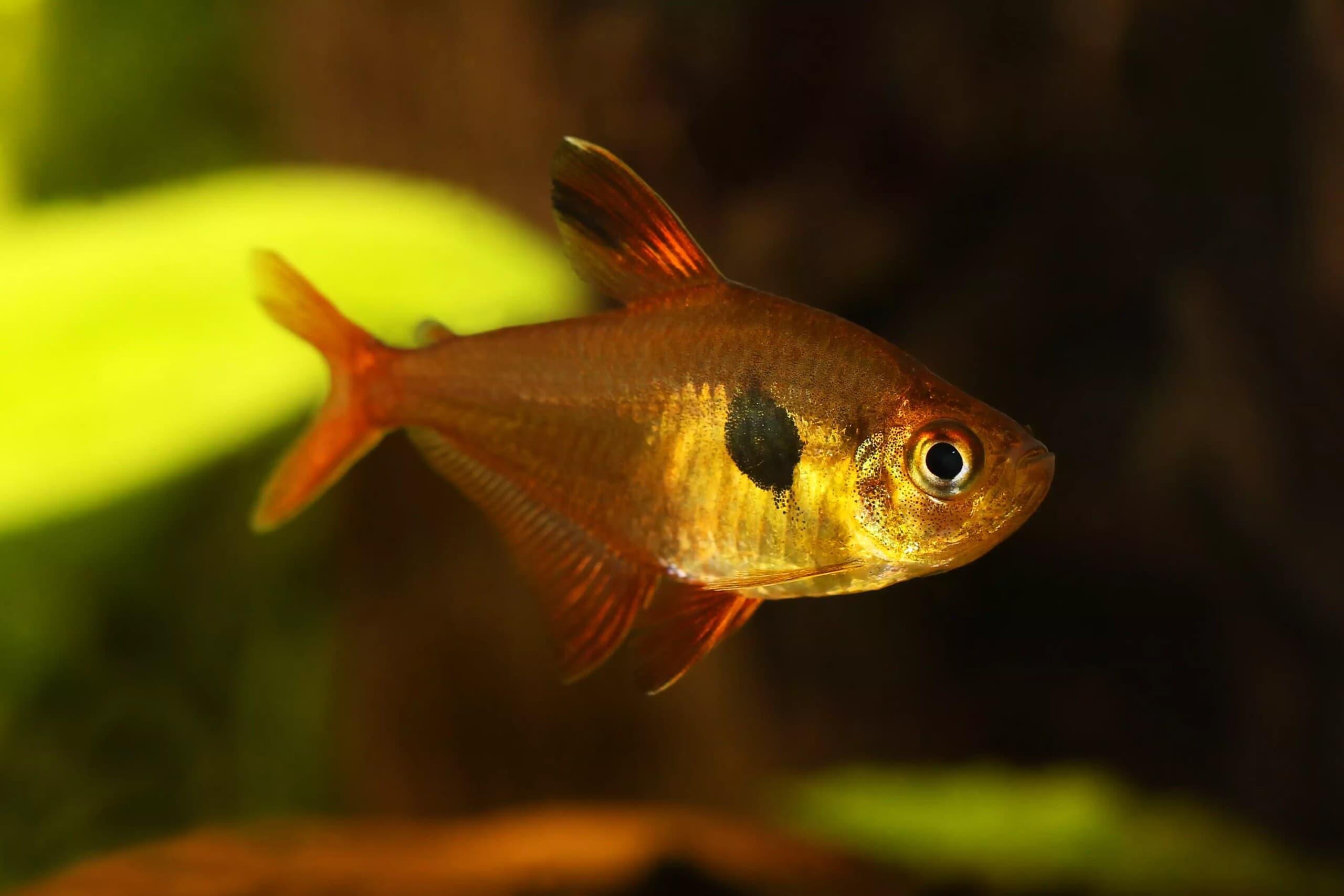 7-Mücevher tetra balığı