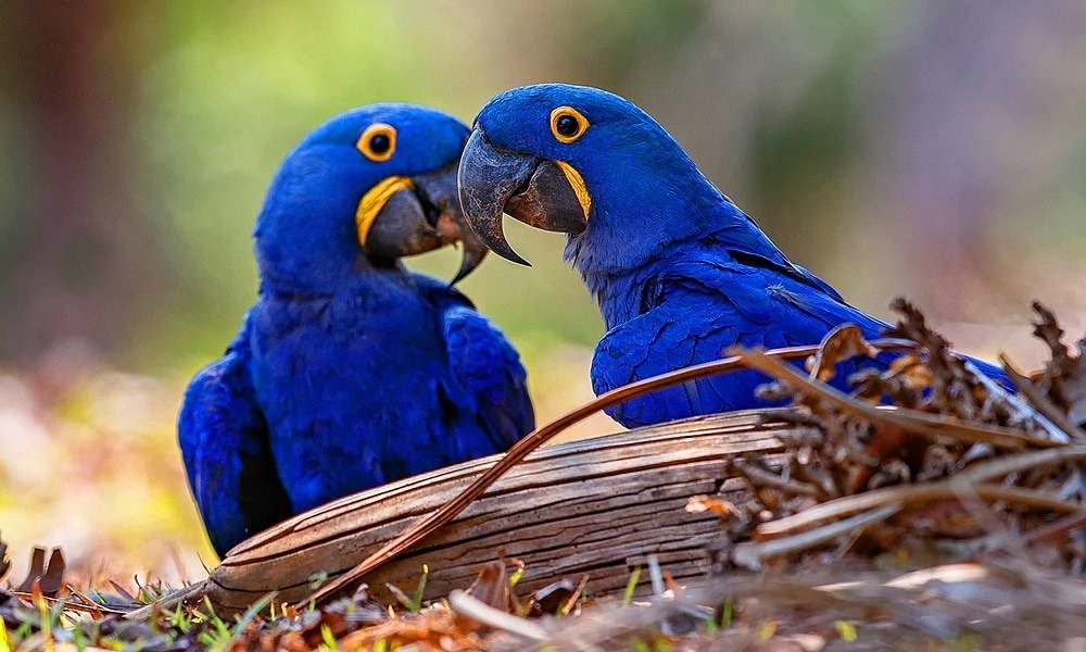 Amerikan Sümbül Papağan Cinsleri