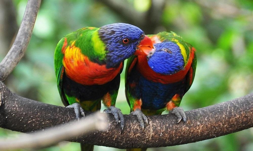 Gökkuşağı Lori Papağan Cinsleri