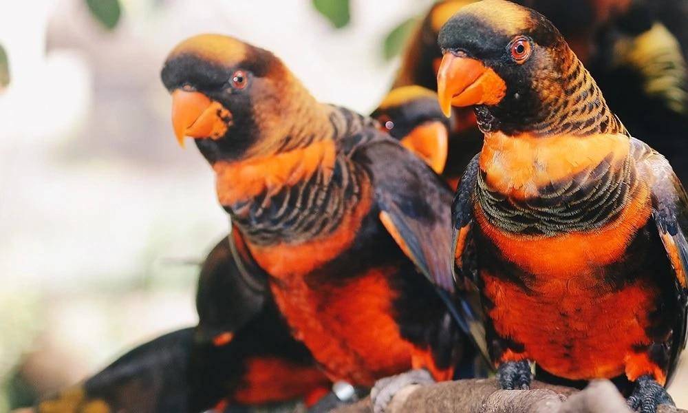 Gölgeli Lori Papağan Cinsleri