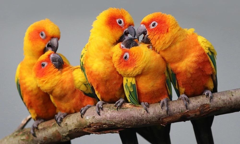 Güneş Muhabbet Kuşu