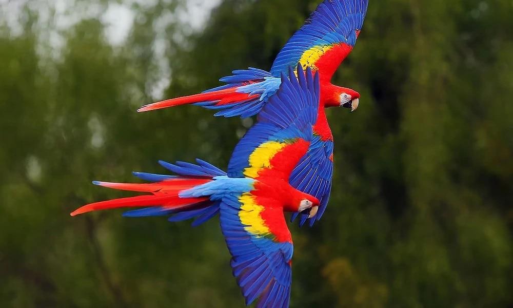 Kızıl Ara Papağan Cinsleri