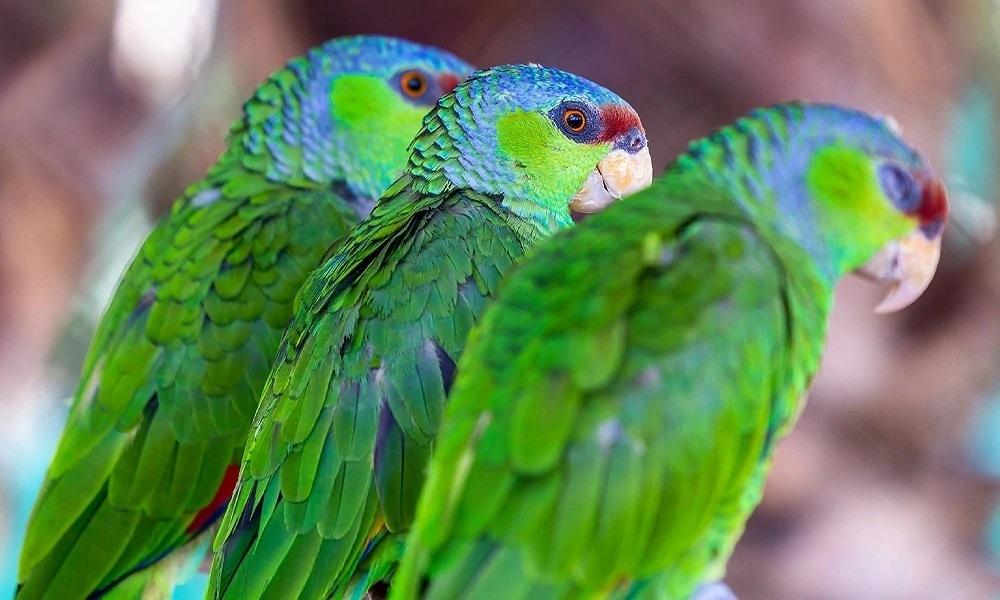 Leylak Taçlı Amazon Papağan Cinsleri