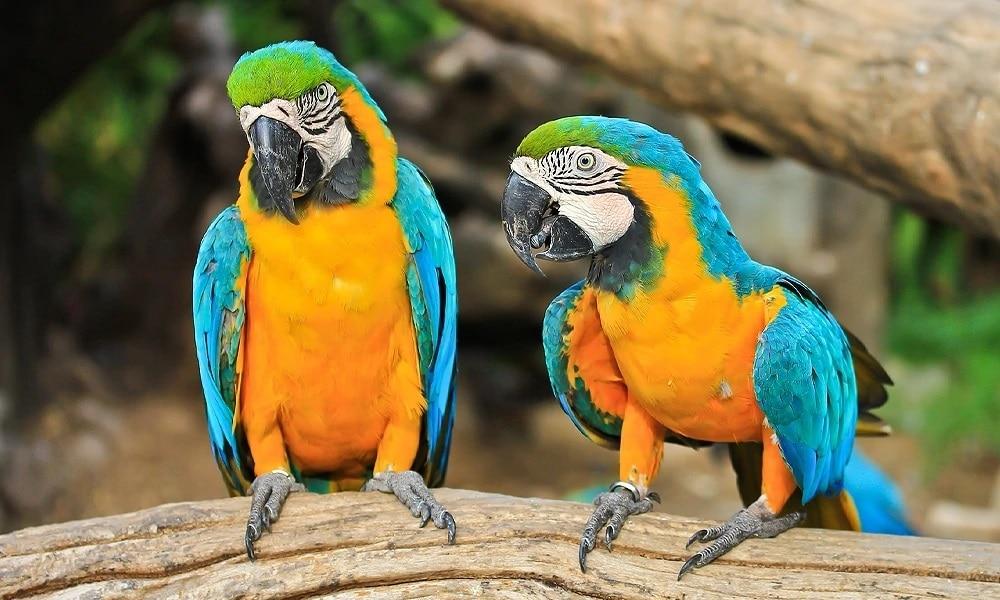 Mavi Sarı Ara Papağanı