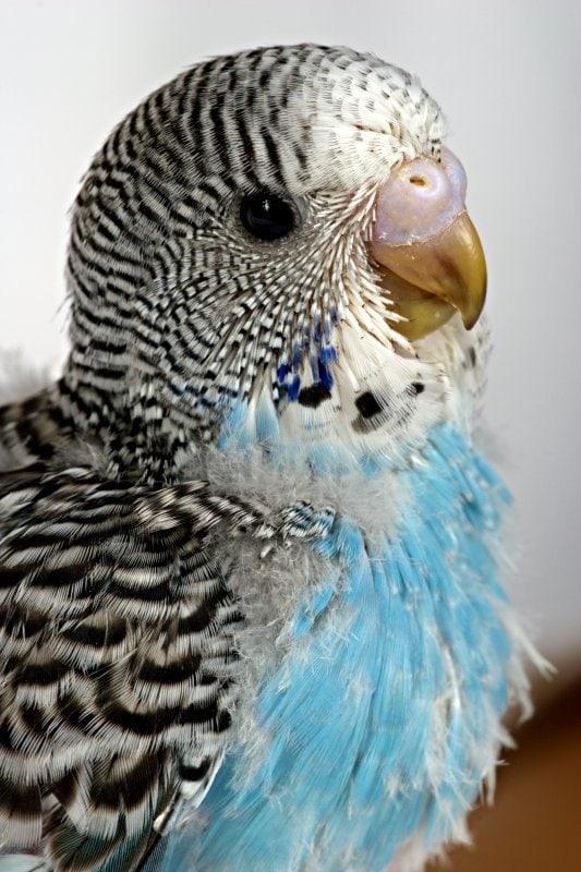 Muhabbet Kuşu Tüy Dökme 1