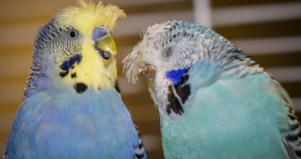Muhabbet Kuşu Tüy Dökme 3