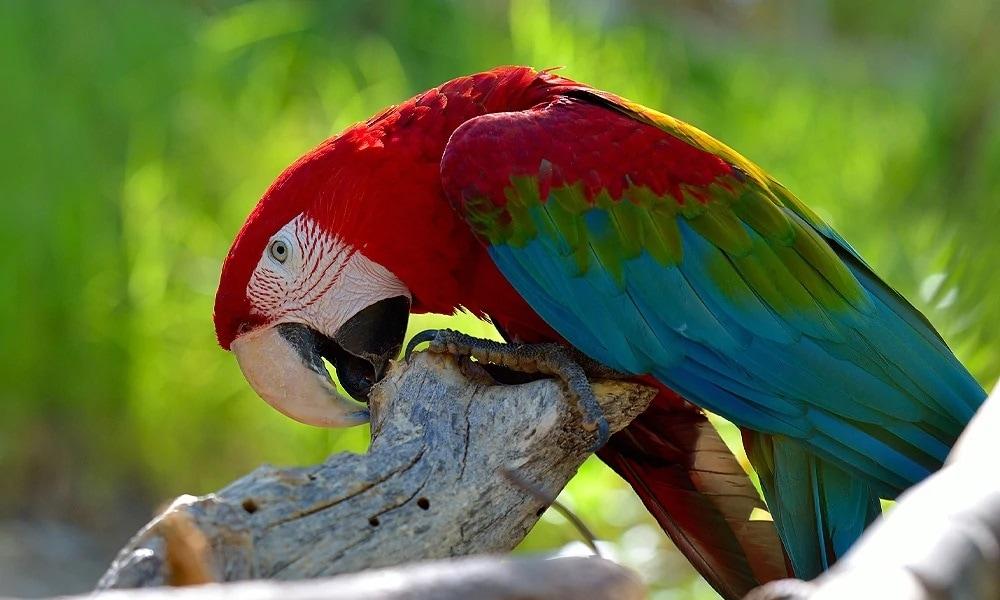 Yeşil Kanatlı Ara Papağanı