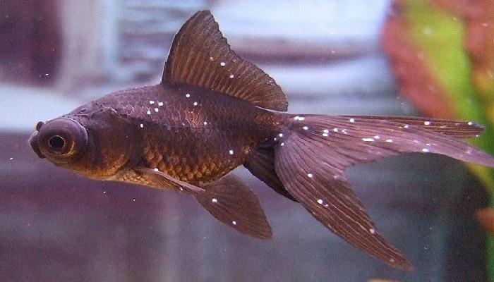 beyaz benek -akvaryumdaki balıkların hastalıkları