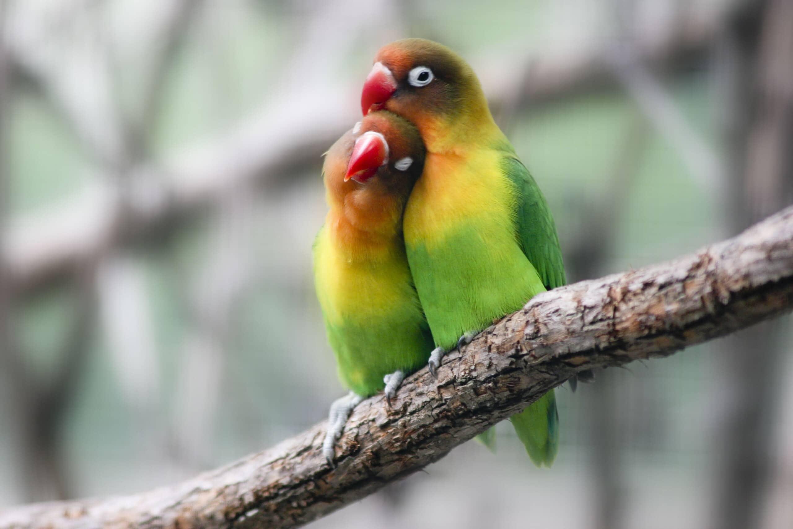 cennet papağanı 1