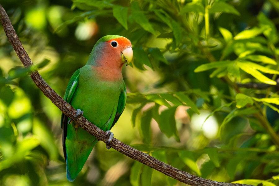 cennet papağanı 3