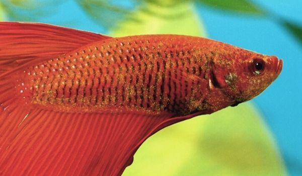 kadife - akvaryumdaki balıkların hastalıkları
