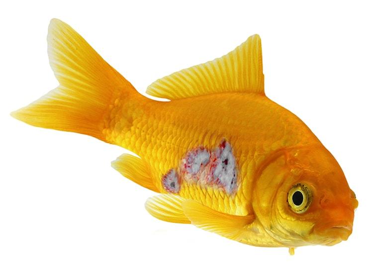 ülserler - akvaryumdaki balıkların hastalıkları
